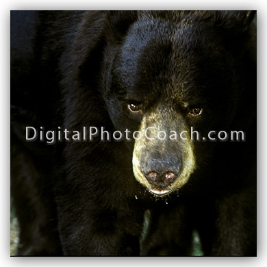 black-bear