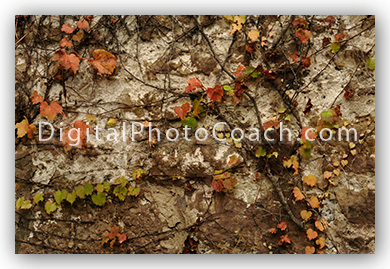 autumn vines on stone wall